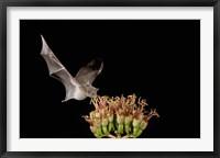 Framed Mexican Long-tongued Bat, Agave Blossom, Arizona