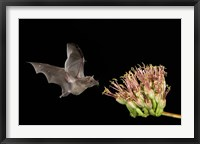 Framed Mexican Long-tongued Bat