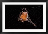 Framed Fishing Bat, Iwokrama Forest Reserve, Guyana
