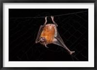 Framed Fishing Bat, Iwokrama Forest Reserve, Guyana