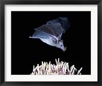 Framed Leafnosed fruit bat, agave, Tucson, Arizona, USA