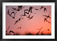 Framed Mexican Free-tailed Bats emerging from Frio Bat Cave, Concan, Texas, USA