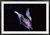 Framed Leaf-nosed Fruit Bat wildlife