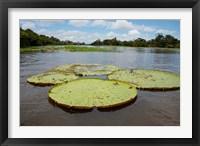 Framed Giant Amazon lily pads, Valeria River, Boca da Valeria, Amazon, Brazil