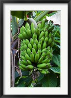 Framed Cuba, Topes de Collantes banana fruit tree