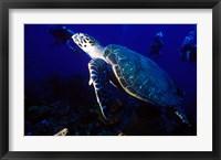 Framed Loggerhead Turtle, Dominica, Caribbean