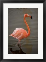 Framed Flamingo, Tropical bird, Dominican Republic