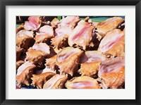Framed Conch Shells, St Georges, Grenada, Caribbean