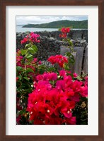 Framed Flowering Bougainvillea & Ruins, Chateau Dubuc, Martinique, French Antilles, West Indies
