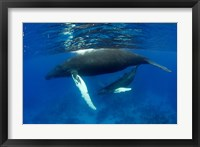 Framed Humpback whale mother and calf, Silver Bank, Domincan Republic