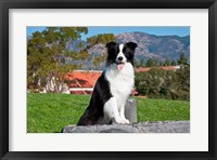 Framed Border Collie dog sitting