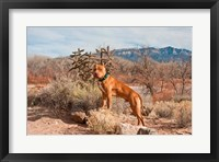 Framed American Pitt Bull Terrier dog, New Mexico
