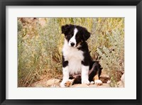 Framed Border Collie puppy dog