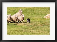 Framed Purebred Border Collie dog and sheep