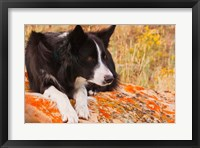 Framed Purebred Border Collie dog on moss rock