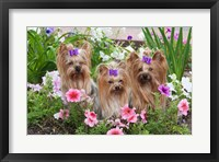 Framed Purebred Yorkshire Terrier Dog in flowers
