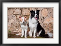 Framed adult Border Collie dog with puppy