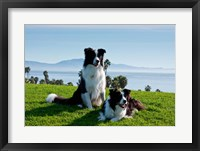 Framed Two Border Collie dogs