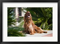 Framed Irish Setter dog surrounded by cycads