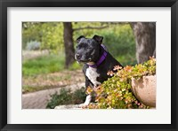 Framed Staffordshire Bull Terrier dog in a garden