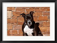 Framed American Staffordshire Terrier dog