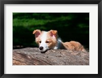 Framed Border Collie puppy dog looking over a log