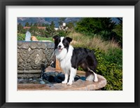 Framed Border Collie dog standing on a fountain