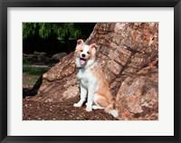 Framed Border Collie puppy dog