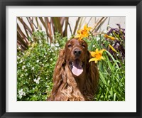 Framed Portrait of an Irish Setter sitting next to yellow flowers