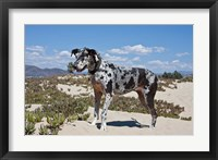 Framed Great Dane standing in sand at the Ventura Beach, California