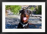 Framed USA, California Rottweiler smiling