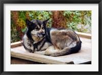 Framed Alaskan Husky dog, Denali Park, Alaska, USA