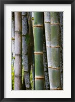 Framed Bamboo, Jardin De Balata, Martinique, French Antilles, West Indies