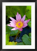 Framed Martinique, West Indies, Water lily flower