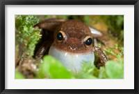 Framed Common coqui frog, El Yunque NF, Puerto Rico