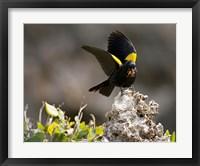 Framed Yellow shouldered blackbird, Mona Island, Puerto Rico