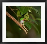Framed Puerto Rican Tody, Bird, El Yunque NF, Puerto Rico