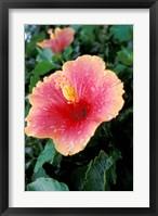 Framed Hibiscus Flower in Bloom, St Kitts, Caribbean
