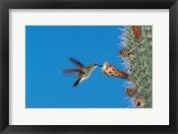 Framed Antillean Mango Hummingbird, Bosque Estatal De Guanica, Puerto Rico