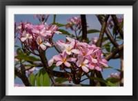 Framed Pink Oleander Flora, Grand Cayman, Cayman Islands, British West Indies
