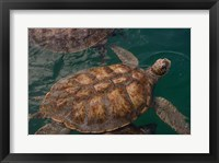 Framed Turtle Farm, Green Sea Turtle, Grand Cayman, Cayman Islands, British West Indies