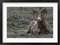 Framed Alberta, Columbia Icefields Parkway, bighorn sheep