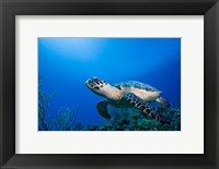 Framed Cayman Islands, Hawksbill Sea Turtle and coral reef