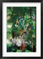 Framed Butterfly Farm on St Martin, Caribbean