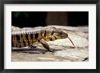 Framed Golden Tegu Lizard, Asa Wright Wildlife Sanctuary, Trinidad, Caribbean