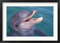 Framed Bottlenose Dolphin, Caribbean