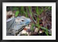 Framed Iguana lizard, Queen Elizabeth II Park, Grand Cayman