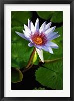 Framed Lily flower pads, Botanic Park, Grand Cayman