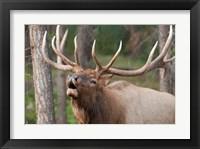 Framed Canada, Alberta, Jasper National Park Bull elk bugling