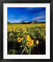 Framed Balsamroot along the Rocky Mountain Front, Waterton Lakes National Park, Alberta, Canada